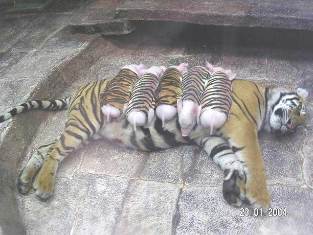 tigrecochon.jpg