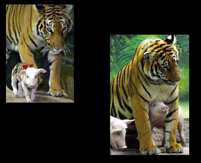 tigrecochon04.jpg