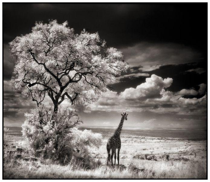 girafs.jpg