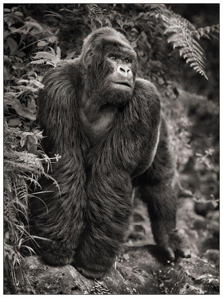 gorillaonrock.jpg