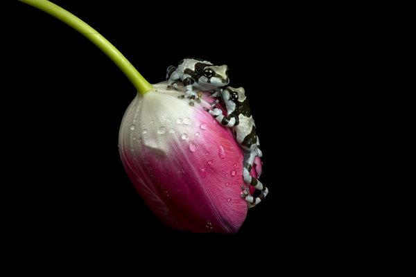 tulipegreouille.jpg