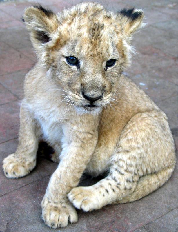 lionceau1.jpg