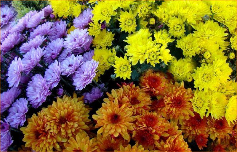 chrysanthmes.jpg