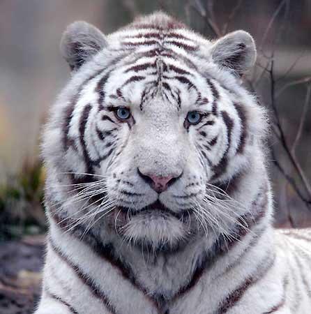 tigreblanc.jpg