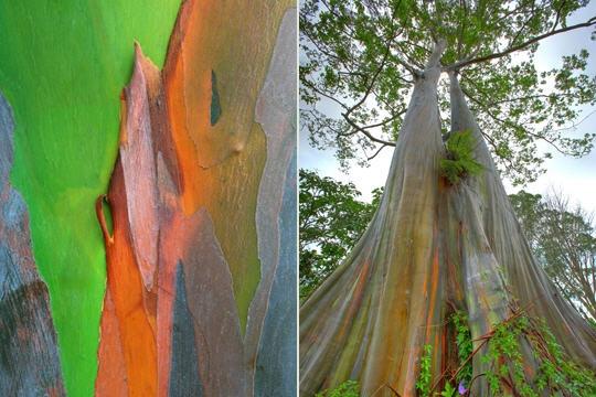 leucalyptusarcenciel341345.jpg