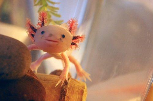 axolotl8.jpg